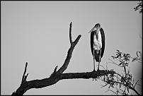 Click image for larger version.  Name:Marabou bw.jpg Views:54 Size:132.6 KB ID:584002