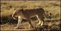 Click image for larger version.  Name:lion1.jpg Views:145 Size:83.4 KB ID:617840