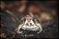 Click image for larger version.  Name:Mozambique rain frog.jpg Views:61 Size:180.5 KB ID:550581