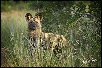 Click image for larger version.  Name:Wild Dog 2.jpg Views:50 Size:354.7 KB ID:553584