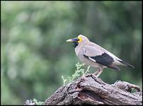 Click image for larger version.  Name:Wattled%20Starling.jpg Views:36 Size:40.6 KB ID:552816
