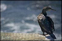 Click image for larger version.  Name:Cormorant, Cape.jpg Views:27 Size:182.6 KB ID:541172