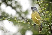 Click image for larger version.  Name:Cape Penduline Tit 2.jpg Views:41 Size:243.1 KB ID:554614