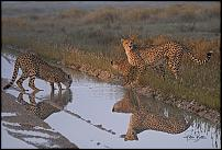 Click image for larger version.  Name:Cheetah Drinkers.jpg Views:83 Size:662.3 KB ID:610113